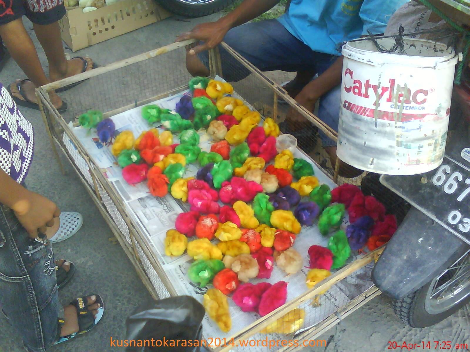 Penjual Bibit Ayam Rasayam Potong Broiler