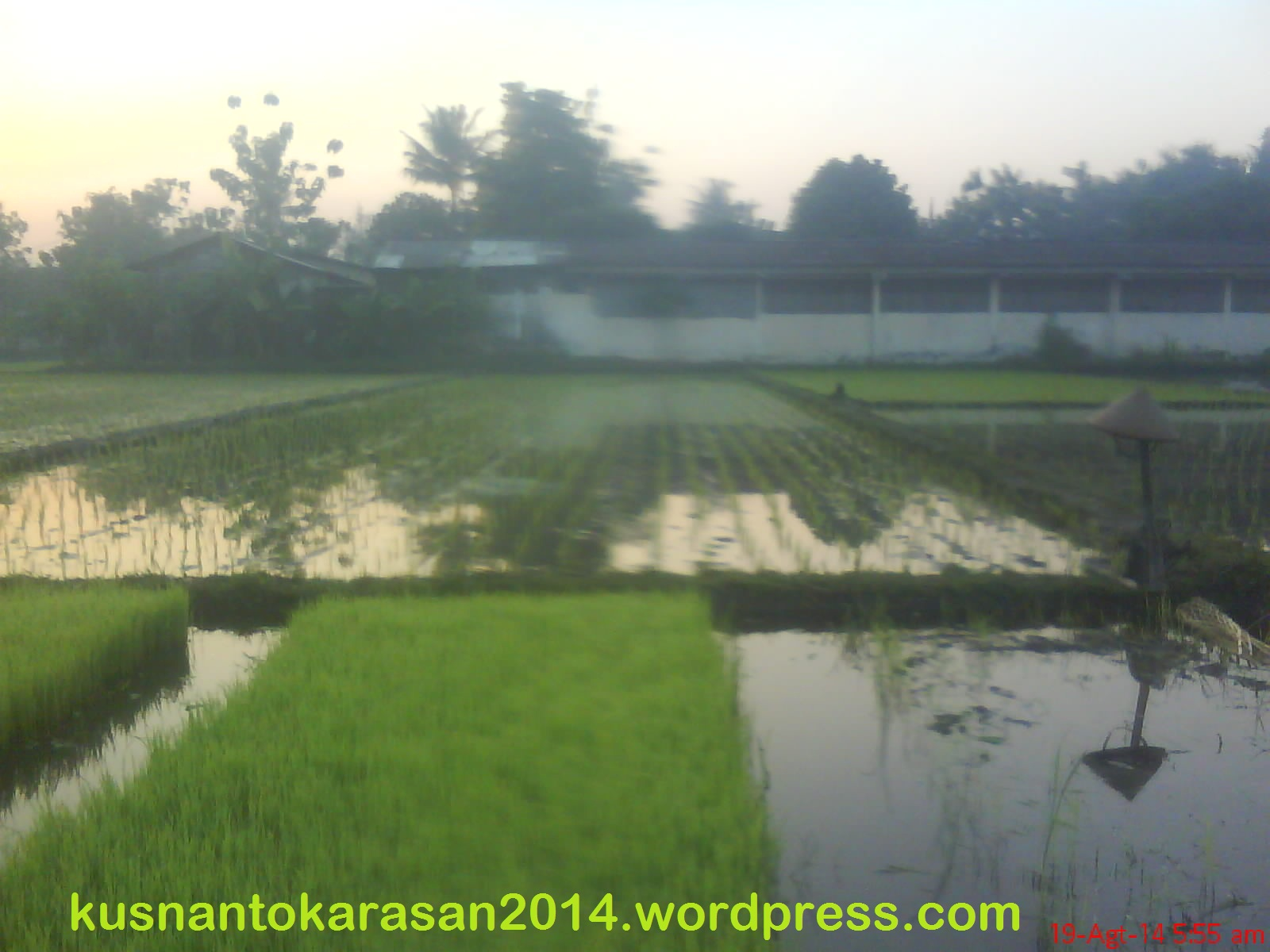 Bibit tanaman padi di media persemaian yang sudah siap tanam di lahan sawah