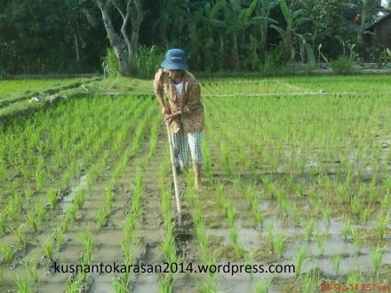 Contoh petani yang sedang meng-gosrok.
