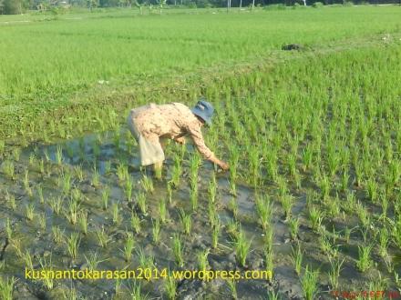 """Contoh petani sedang """"Matun"""" atau membersihkan rumput penggantu tanaman padi."""