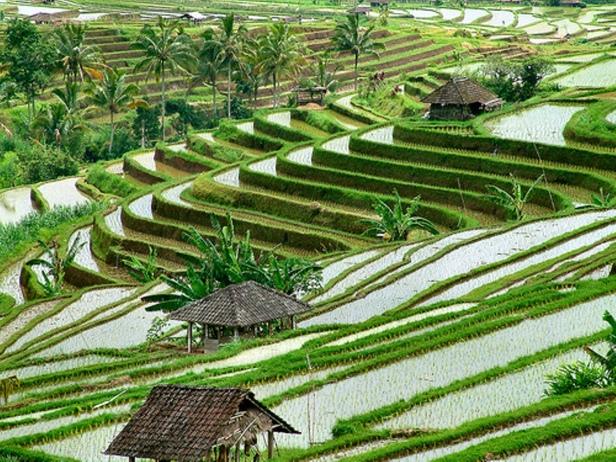 Sawah terasiring nan indah berada di Bali