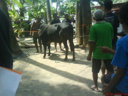prosesi awal penyembelihan sapi