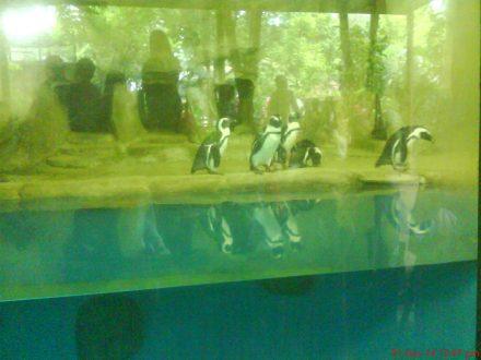 "Ini nich sang primadona di Gembira Loka Zoo ""penguin"""
