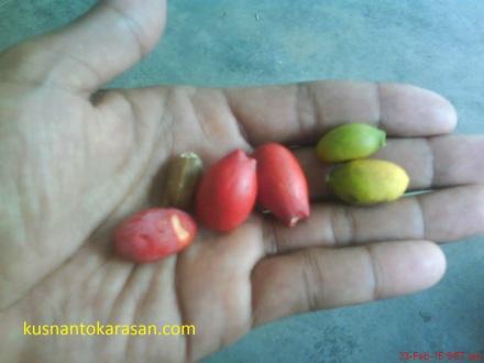 Ini buah melinjo