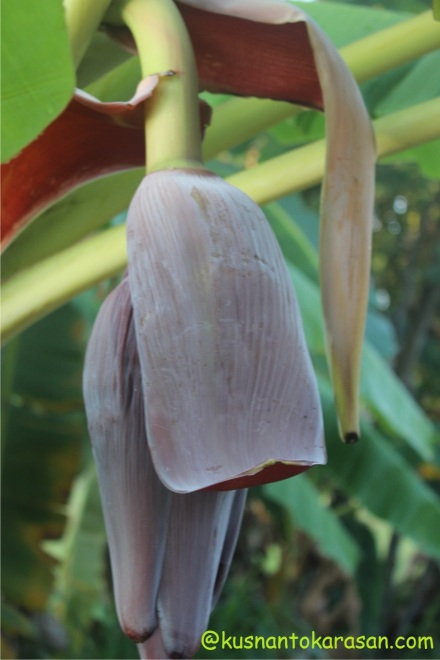 Bunga Pisang