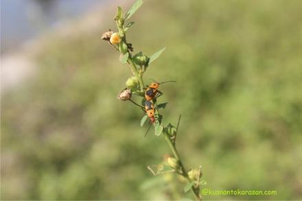 inilah serangga yang bernama Bapak Pucung