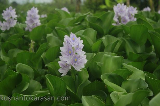 Bunga Enceng Gondok, satu saja indah apalagi ratusan bahkan ribuan...
