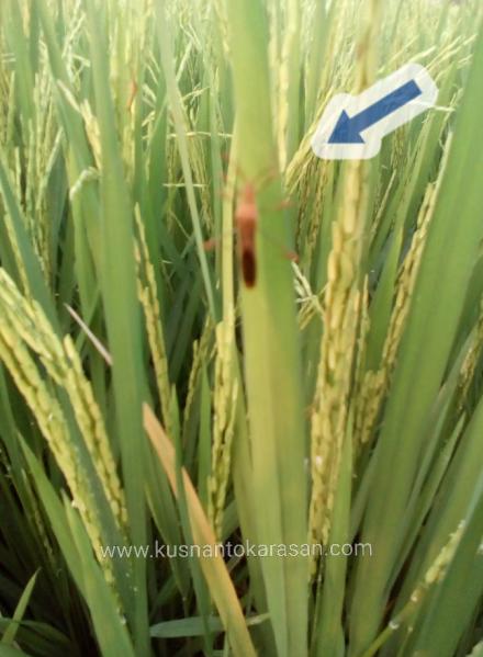 Walang sangit menyerang bunga padi