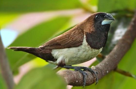 Burung pipit ( www.hazilinblogspot.blogspot.co.id)
