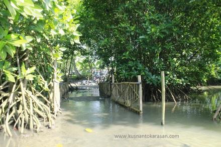 Tanaman mangrove / bakau