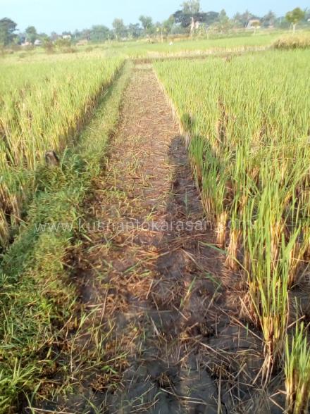 Babat tunggak tanaman padi