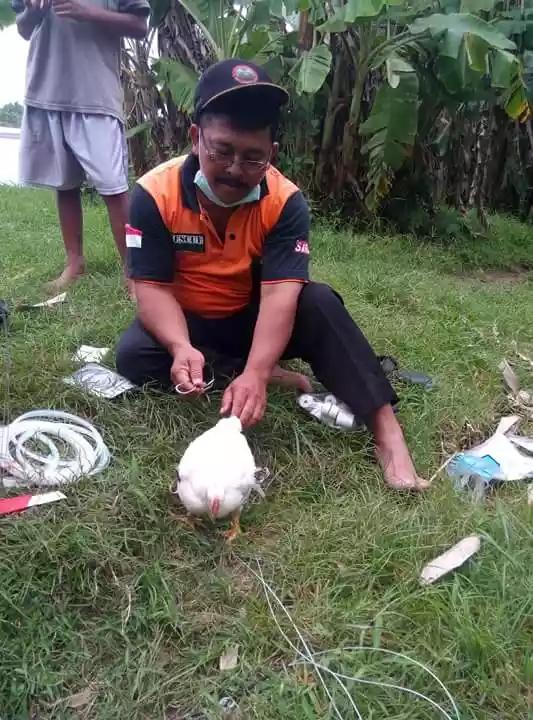 Pemasangan umpan guna memancing buaya